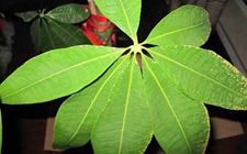 发财树叶子发黄的原因有哪些?发财树叶子发黄怎么办?