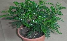 清香木怎么养?清香木的养殖方法介绍