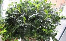 清香木为什么老掉叶?清香木掉叶的原因有哪些?