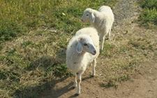 奶山羊乳房炎怎么办?羊乳房炎的预防与治疗