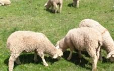 <b>羔羊软瘫综合症的临床症状及预防方法</b>