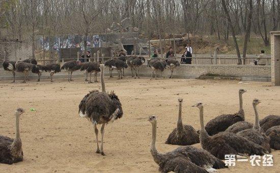如何养殖鸵鸟?鸵鸟的养殖管理技术要点