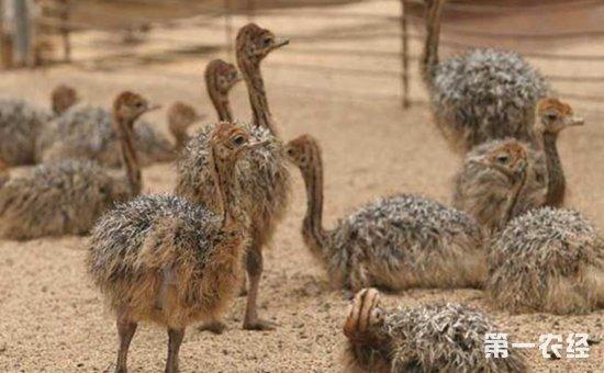 鸵鸟雏鸟怎么养?鸵鸟雏鸟的生理特点和饲养方法介绍