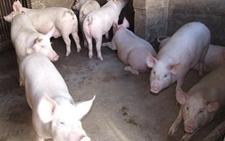 2018年1月8日全国生猪价格行情呈现上涨态势有望破八