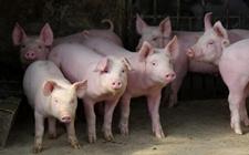 生猪价格走势保持稳定 雨雪天气影响逐渐减弱