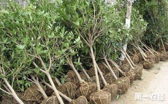 南京砖墙镇:1.5万棵果树扮靓乡村