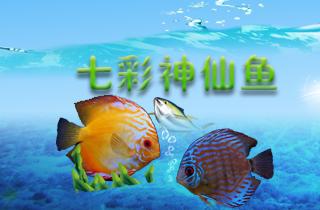 【神仙鱼专题】神仙鱼好养吗?七彩神仙鱼一只多少钱?