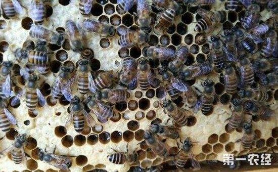 中华蜜蜂染上囊状幼虫病怎么办?中蜂囊状幼虫病的综合防治方法