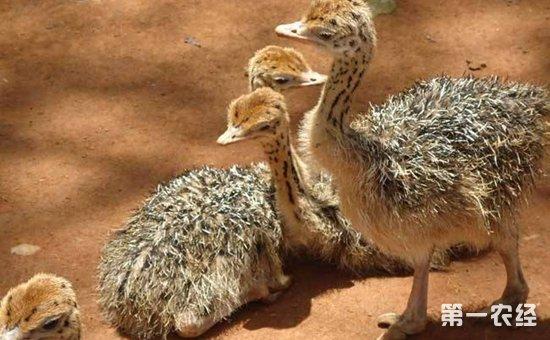 由于鸵鸟为卵生动物,因此在鸵鸟的养殖过程中,种蛋孵化是非常基础的一