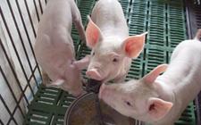 2018年1月9日全国生猪价格行情主流上涨趋稳发展