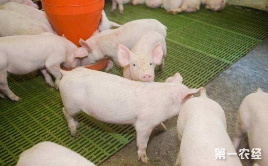 冬季仔猪养殖有什么秘诀?