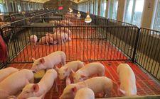 降雪天气怎样防止养猪场发生损失?