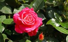 <b>玫瑰和月季怎样快速区分?</b>