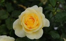 香槟玫瑰的花语是什么?不同朵数香槟玫瑰花语大全