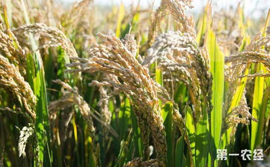 """超级杂交稻""""三一""""粮食高产工程试验初见成效"""