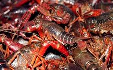 小龙虾感染疾病怎么办?小龙虾常见疾病的病症与防治