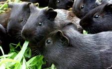 黑豚鼠巴氏杆菌病怎么治?黑豚鼠巴氏杆菌病的防治技术