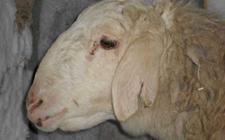 羊链球菌病该如何防治?羊链球菌病的综合防治方法