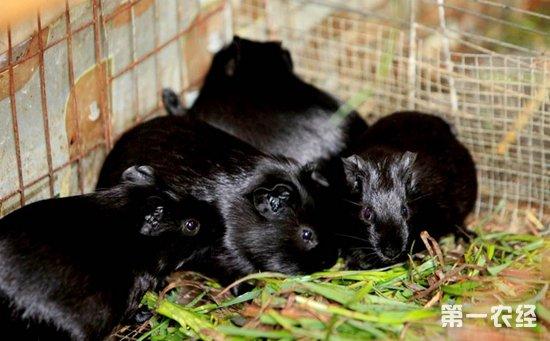 黑豚鼠怎么繁殖?黑豚鼠的繁殖特点与方法