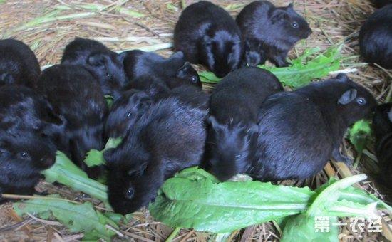 黑豚鼠怎么养?黑豚鼠的养殖技术与管理