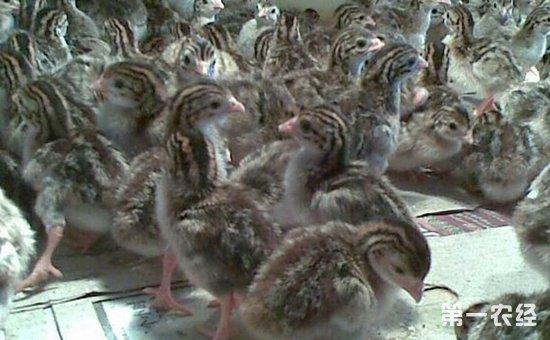 鹧鸪养殖怎么管理?鹧鸪的饲养管理技术要点