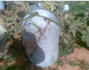 白粉冬瓜的品种特征和种植技术