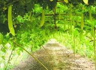 冬季大棚苦瓜如何进行栽培?冬季大棚苦瓜栽培技术