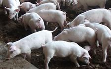 消费需求疲软致使生猪价格走势有所波动