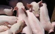 猪链球菌病怎样科学诊断?