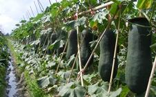夏季冬瓜如何种植?夏播冬瓜高产栽培技术