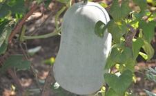 冬瓜如何合理施肥?冬瓜施肥技术要点