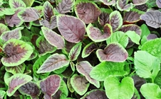 苋菜如何种植?夏季露地苋菜栽培技巧