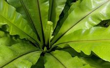 如何给鸟巢蕨施肥与浇水?季节上有什么要求吗?