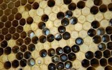蜜蜂白垩病怎么防治?蜜蜂白垩病的综合防治措施