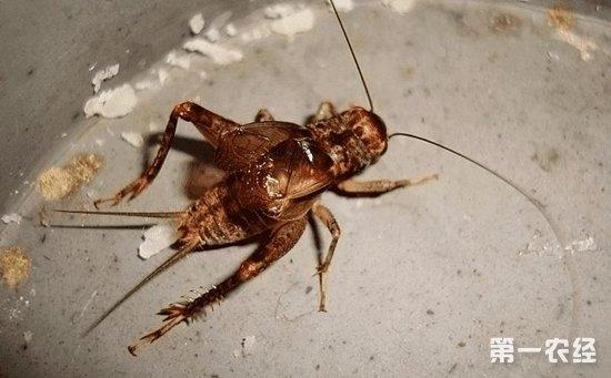 蟋蟀怎么繁殖?蟋蟀的人工繁殖技术