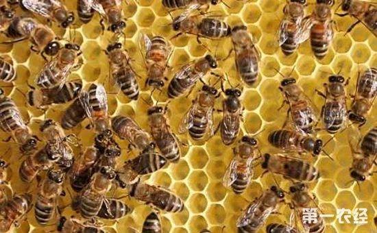 冬季蜜蜂怎么养?蜜蜂的冬季养殖管理要点