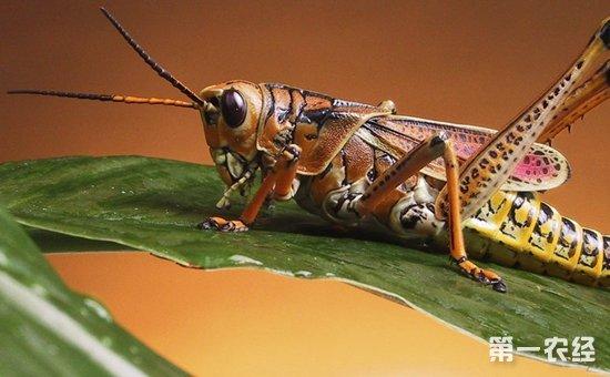 蝗虫怎么养?蝗虫的养殖技术与注意事项