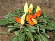 袖珍辣椒春季早熟种植技术