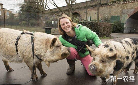 """英国伦敦女子宠物猪成""""网红""""明星"""