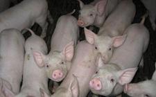 """2018年1月11日全国两地生猪价格行情""""破8""""主流上涨"""
