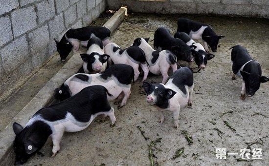 宁乡花猪的饲养要点是什么?