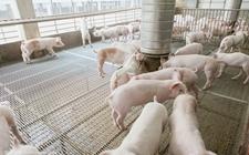 100头生猪规模的新式养猪大棚怎样建设?