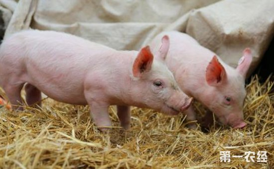 怎样科学挑选健康猪仔?