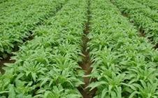 莴笋可以夏季栽培吗?夏季莴笋高产栽培技术