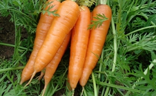 胡萝卜如何种植?秋季胡萝卜田间管理技巧
