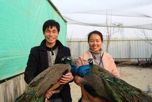 张五铺夫妇:孔雀养殖带领村民共同致富