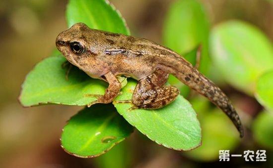 林蛙如何繁殖?林蛙的繁育技术