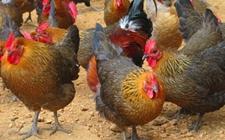 土杂鸡脱温后怎么饲养?