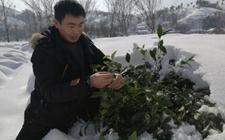 信阳暴雪农科院专家冒雪指导茶农抗灾救灾