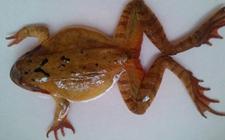 林蛙染上疾病怎么办?林蛙常见疾病的症状与防治